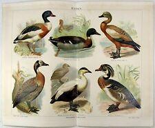 Ducks - Original 1889 Chromolithograph. Enten