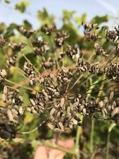 3 Dry Dill Seed Heads Spice Herb