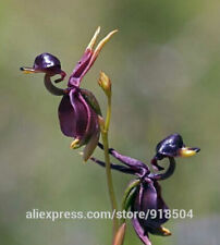 Flying Duck Orchid Flower Seeds China Rare Flower 100 Seeds Beautiful Orchids