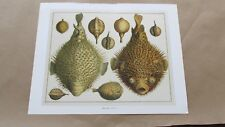 Natural History Puffer Fish 15x12 Offset Lithograph