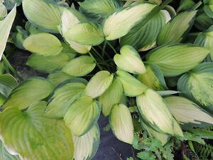 HOSTA GOLD STANDARD - Well established plant grown in 11cm. pot.