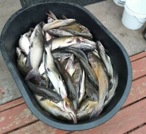 Frozen Shad for fishing