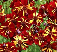ROULETTE COREOPSIS Seeds UNIQUE Red Yellow Perennial Butteflies 60 Seeds