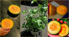 "SEEDS–""Honey Bun"" Mini Bush Cantaloupe ""Cucumis melo"" – Great for limited space!"
