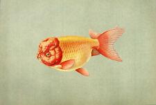 Oriental Ranchu Maruko Fancy King Of Goldfish ~ 1909 Art Print Engraving Rare!