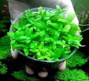 Staurogyne Repens Tissue Culture BUY2GET1FREE Easy Live Aquarium Carpet Plant