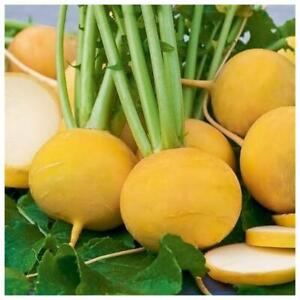 Seeds Turnip Golden Ball Yellow Vegetable Planting Organic Heirloom - 1000 seeds