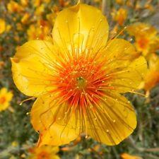 Blazing Star Mentzelia Lindleyi 300 seeds CombSh B44