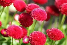 Flower Seeds - English Daisy Monstrosa Corsican Bellis Red Flower 50 Seed