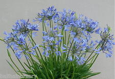 3 New Agapanthus Bluestorm  soft violet blue flowers garden perennial plant