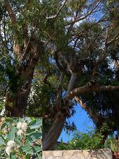 Eucalyptus citriodora (Lemon Scented Gum) - 50 seeds
