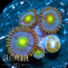 New listing Asd - 090 Blue Martian Zoanthids - Wysiwyg - Aqua Sd Live Coral Frag