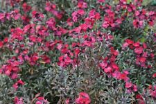 Lovely spring flowers fragrant evergreen Erysimum Red Jep hardy wallflower 2L po