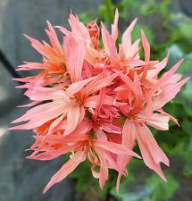 Double Salmon Graffiti Stellar Pelargonium x 1 Plant ---------------- Geranium