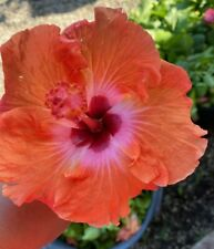 EXOTIC KISS & TELL HIBISCUS LIVE PLANT 7 TO 10 INCHES TALL