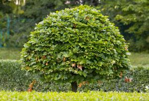 1x HORNBEAM Tree (Carpinus betulus) 1.5ft tall - HEDGING | WILDLIFE FRIENDLY