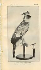 1901 Very Rare Antique Smithsonian Print ~ Largest and Smallest Birds of Prey ~