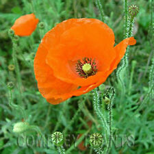 FIELD or CORN POPPY (FLANDERS) WILD FLOWER 12000 SEEDS (2 grams) common poppies