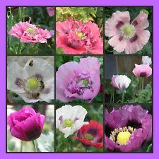 Bulk Super Mega Mix Poppy Flower Seeds 1000 plus seeds in each pack