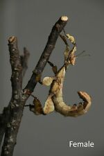 New listing Macleay's spectre giant prickly spiny leaf Stick Insect 25 Eggs feeders Only