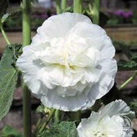 30+  HOLLYHOCK  WHITE CHATERS DOUBLE, EASY FROM SEED, PERENNIAL  FLOWER SEEDS