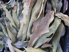 50 Dry Leave Mango Organic.Hojas de Mango Natural Secas