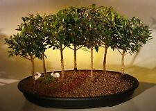 "7 Flowering Brush Cherry Bonsai Tree Forest Group Eugenia Myrtifolia 7yo 8""tall"