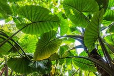 """Einfach riesig das Elefantenohr """"Alocasia odora"""" tolle Zimmerpflanze - Geschenk."""