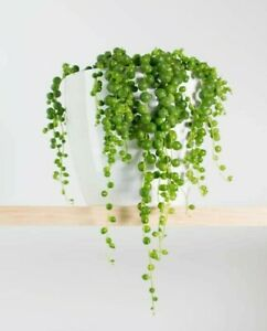String of Pearls Plant 6cm pot 12cm D Senecio rowleyanus Delivered to your door