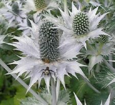 20+ SILVER SEA HOLLY FLOWER SEEDS ERYNGIUM, SILVER GHOST, RABBIT RESISTANT, TALL