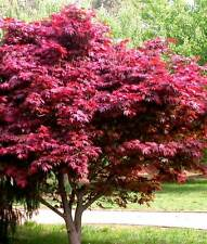 Acer palmatum Atropurpureum Roter Fächer Ahorn 45865