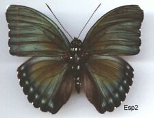 Euphaedra species- Real butterfly C-A-R Entomology