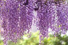 6 x chinese wisteria tree seeds (wisteria sinensis) tree seeds.