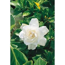 10  Cuttings White August Beauty Gardenia Shrub Stater Cuttings