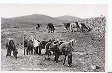 Animal Postcard - Dartmoor Ponies - Real Photograph    ZZ3620