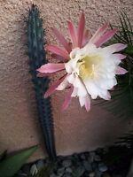 Cereus Aethiops ~ Amazing Edible Fruit ~ Cacti Succulent Shrub ~ Rare Seeds