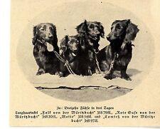 """Langhaardackel """" Falk von der Müritzbucht """" Text / Bilddokument 1937"""