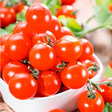 Delicious Piccolo Cherry Tomato*50-Finest Seeds*Sweet & Juicy*UK Seller