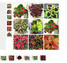 New Hot 100 Rainbow mix coleus seeds kinds of flowers plant garden balcony