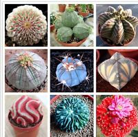 Real mini cactus seeds, rare succulent perennial herb plants,bonsai pot flower