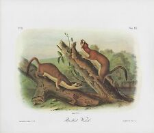 "1989 Vintage ""Bridled Weasel"" Lovely Audubon Mammal Color Art Plate Lithograph"