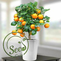 Fruit Mandarin Orange Edible Bonsai Seeds Plant Home Garden Delicious 30 Pcs
