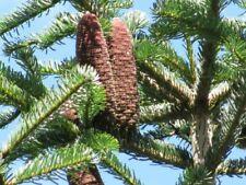 Abies Nordmanniana Nordman Fir, Christmas Tree, Caucasian Fir - 100 Seeds