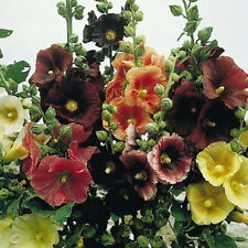Hollyhock Seeds This Has Everything Colors 140 Seeds Short Tall Single Doubles