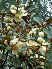 Magnolia laevifolia SMALL LEAF EVERGREEN MAGNOLIA - FRAGRANT FLOWERS - Seeds!