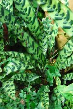"Rattlesnake Plant- Calathea Lancifolia - 1 Plants - Ship in 3"" Pot"
