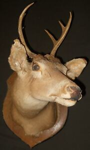 Whitetail Deer Buck with Antlers Shoulder Mount. MM0020