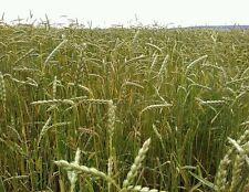 ☺150 graines de grand épeautre / blé des Gaulois