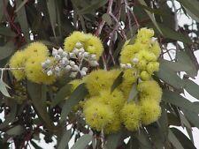 Lemon Flowered Gum Seed (E. woodwardii) Drought/Frost Hardy Medium Tree