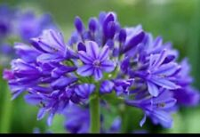 Agapanthus 'Brilliant Blue' X 3 Plugs. Very Hardy National Collection Holders